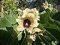 Henbane flower.jpg