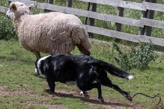 Border Collie Working dog breed