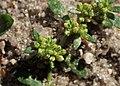 Herniaria glabra kz09.jpg