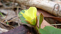 Hibbertia dentata bud (15498797583).jpg