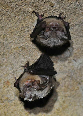 Virginia big-eared bat - Torpid Virginia big-eared bats (Corynorhinus townsendii virginianus) with condensation photographed during a hibernaculum survey