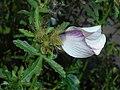 Hibiscus trionum 2017-09-28 5618.jpg