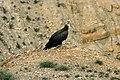 Himalayan vulture Rani Pauwa.jpg