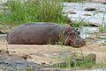 Hippo (Hippopotamus amphibius) (16505815340).jpg