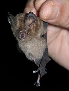 Hipposideros ater by Nameer.jpg