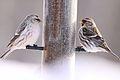 Hoary Redpoll & Common Redpoll (5308043241).jpg