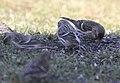 Hoary Redpoll (individual 1), Oakfield, MI, February 4, 2012 (6818878663).jpg