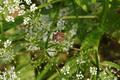 Hoher Vogelsberg Talauen Nidder Hillersbach NR Basaltweg Hillersbach Aegopodium podagraria Graphosoma lineatum.png