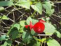 Holmskioldia sanguinea2.jpg