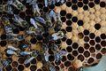 Honeybee queens laying egg 14.jpg