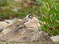 Horned Lark (Eremophila alpestris) (30378239662).jpg