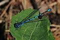 Hufeisen-Azurjungfer Coenagrion puella 9055.jpg