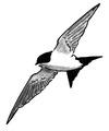 Huiszwaluw Delichon urbica Jos Zwarts 19.tif