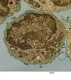 Menselijke B-lymfocyt (28942386960) .jpg