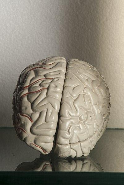 File:Human brain 01.jpg