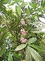 Humboldtia brunonis - Brown's Humboldtia at Peravoor (1).jpg