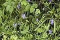 Hyacinthoides non-scripta-.jpg