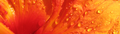 Hybiscus petal crop.png