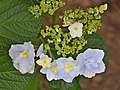 Hydrangea macrophylla 'Trophy' in Auckland Botanic Gardens.jpg