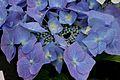 Hydrangea macrophylla Blaumeise.jpg