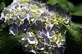 Hydrangea macrophylla Endless Summer 5zz.jpg
