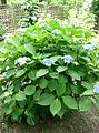 Hydrangea serrata var acuminata2.jpg