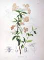 Hydrangea virens SZ60.png