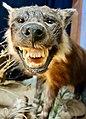 Hyena (23869038328).jpg