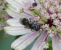 Hylaeus species. Yellow-faced Bee - Flickr - gailhampshire.jpg