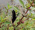 Hypolimnas bolina - Great Eggfly at Thillankeri 22.JPG