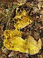 Hypomyces chrysospermus1.jpg