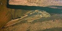 Hypostomus basilisko1.jpg
