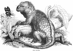 Iguana - Project Gutenberg eBook 11921.jpg
