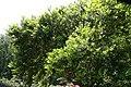 Ilex cornuta Dwarf Burford 2zz.jpg