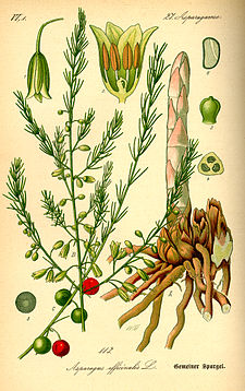 Illustration Asparagus officinalis0.jpg