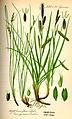 Illustration Carex gynomane0.jpg