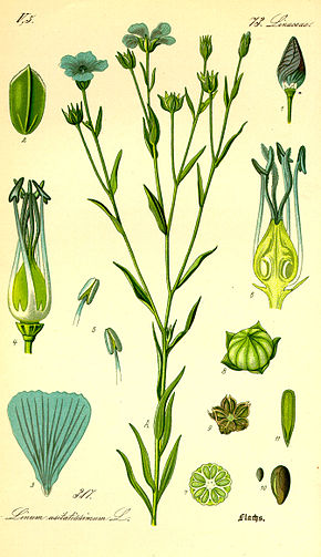 Lin cultiv wikip dia for Plante 9 chemises