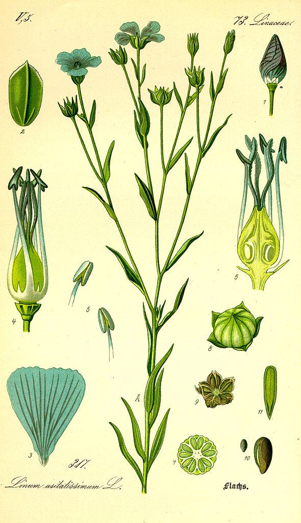Ľan siaty (Linum usitatissimum)