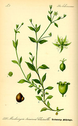 Illustration Moehringia trinervia0.jpg