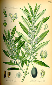 Illustration Olea europaea0.jpg