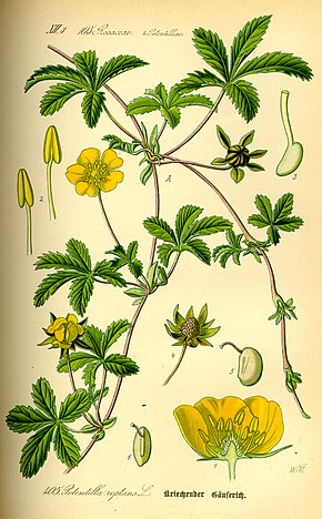 alt=Description de l'image Illustration Potentilla reptans0.jpg.