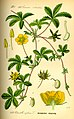 Illustration Potentilla reptans0.jpg