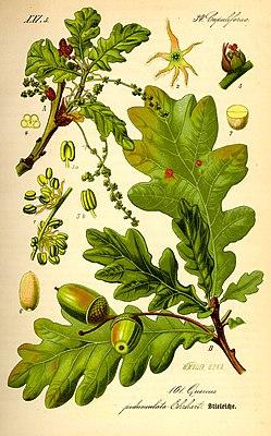 English oak (Quercus robur), illustration