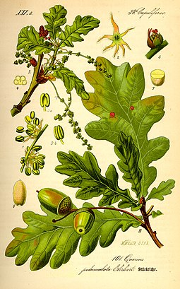Buds, leaves, flowers and fruit of oak (Quercus robur) Illustration Quercus robur0.jpg
