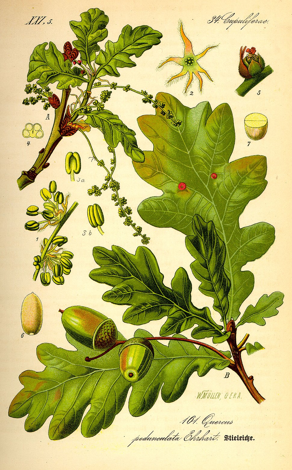 Illustration Quercus robur0