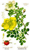 Illustration Rosa pimpinellifolia0 white.jpg