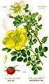 Illustration Rosa pimpinellifolia0 white.jpg