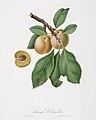 Illustration from Pomona Italiana Giorgio Gallesio by rawpixel00025.jpg