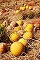 Ilparpa Road melons - panoramio.jpg