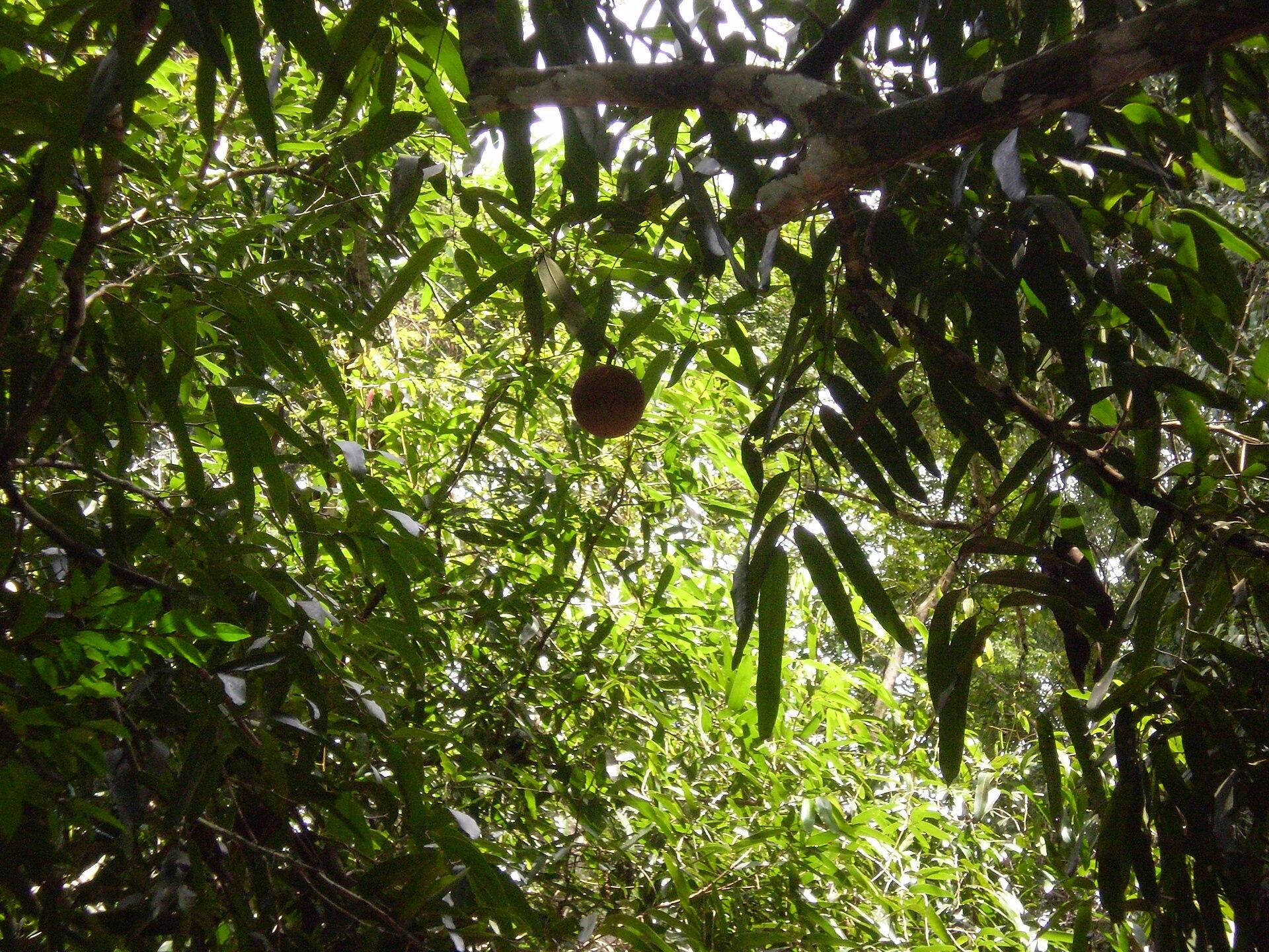 hydnocarpus wightiana seed oil